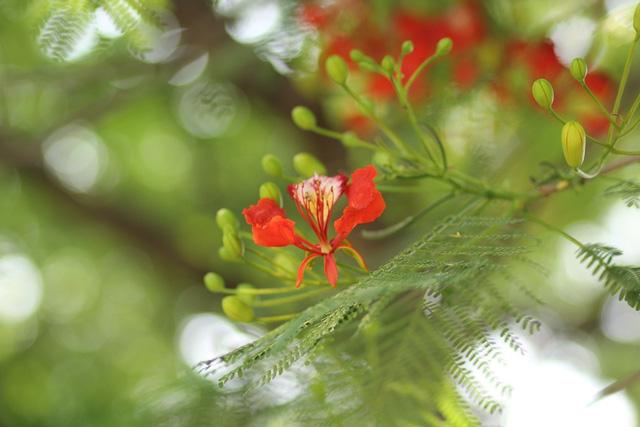 Ngẩn ngơ ngắm hoa phượng nở rực trời Hà Nội đầu hè - 4