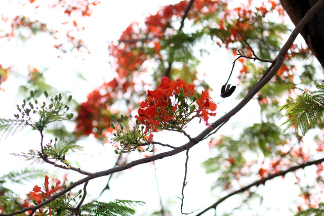 Ngẩn ngơ ngắm hoa phượng nở rực trời Hà Nội đầu hè - 5