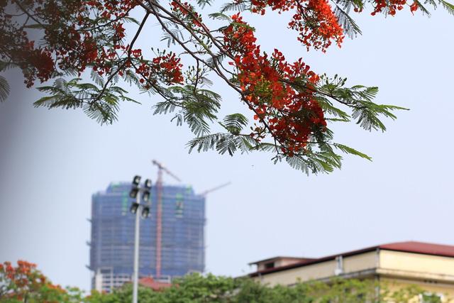Ngẩn ngơ ngắm hoa phượng nở rực trời Hà Nội đầu hè - 6