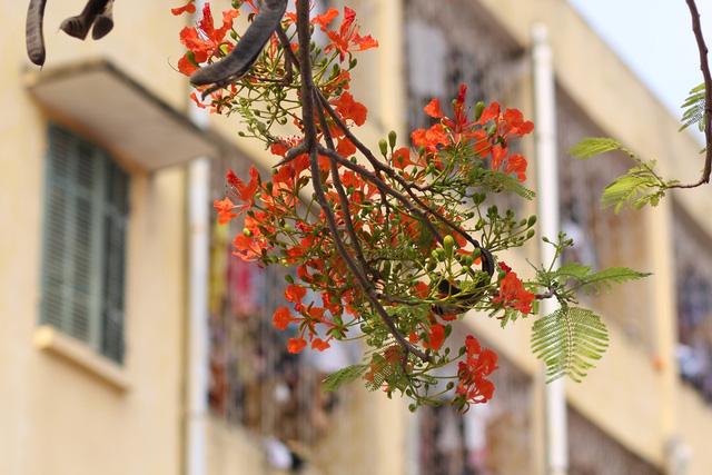 Ngẩn ngơ ngắm hoa phượng nở rực trời Hà Nội đầu hè - 8