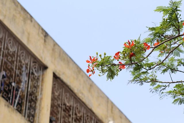 Ngẩn ngơ ngắm hoa phượng nở rực trời Hà Nội đầu hè - 9