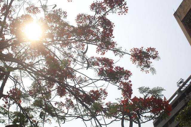 Ngẩn ngơ ngắm hoa phượng nở rực trời Hà Nội đầu hè - 10