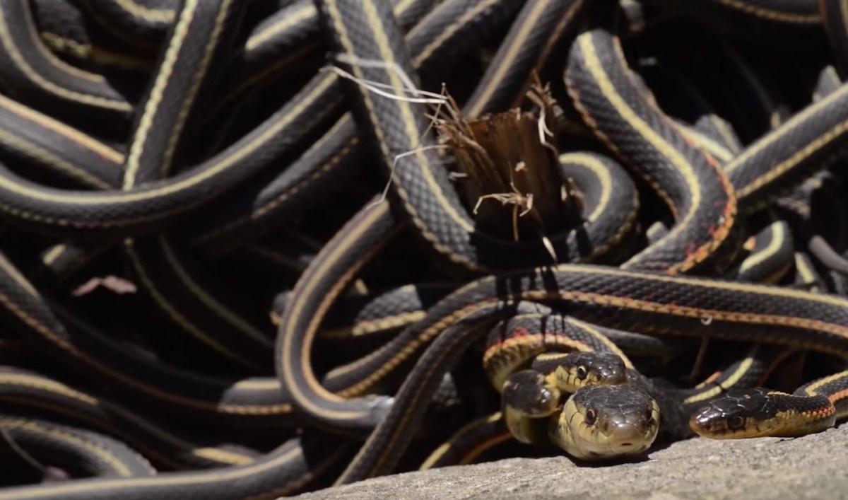 Kinh sợ 75.000 con rắn ken dày như thảm mùa giao phối - 2