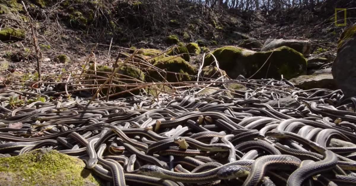 Kinh sợ 75.000 con rắn ken dày như thảm mùa giao phối - 4