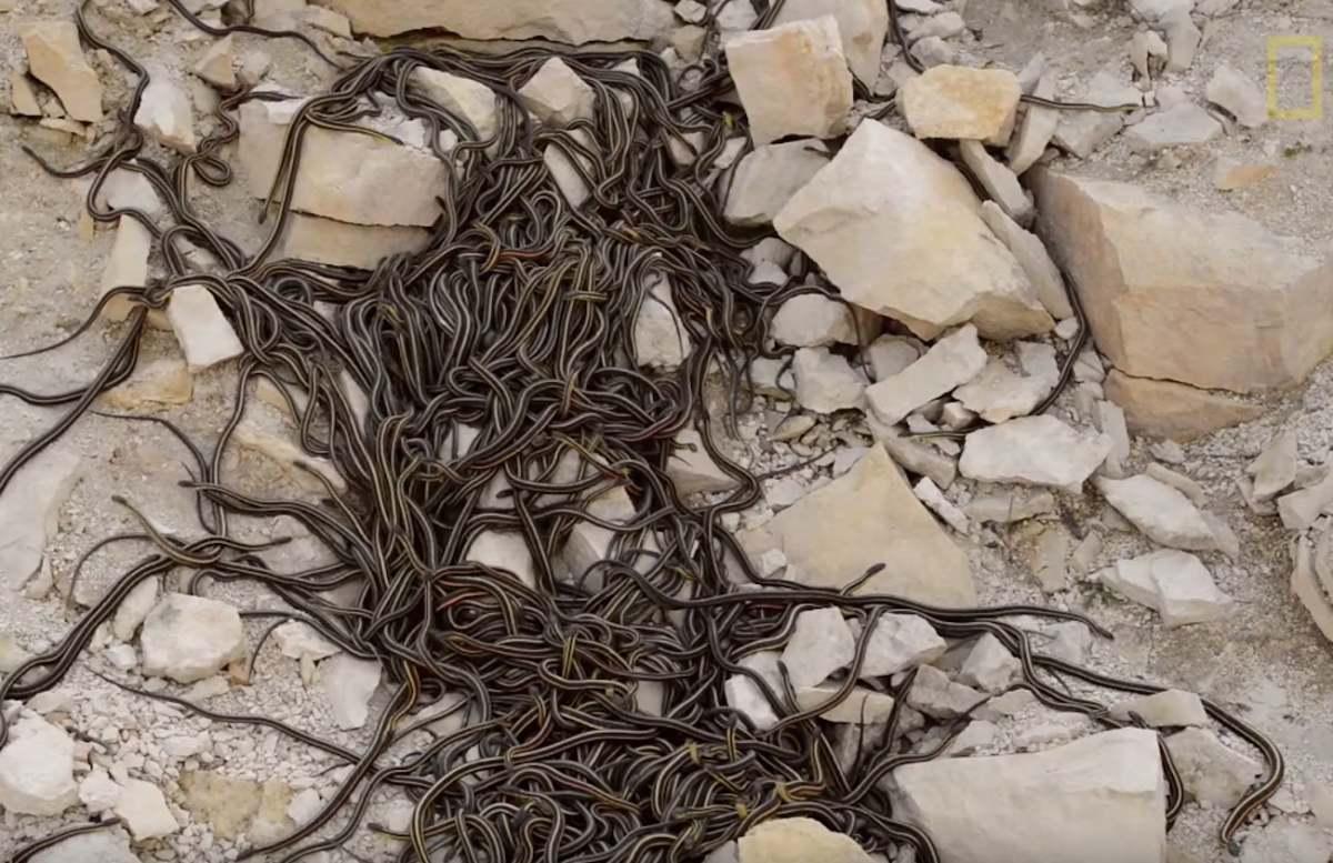 Kinh sợ 75.000 con rắn ken dày như thảm mùa giao phối - 6