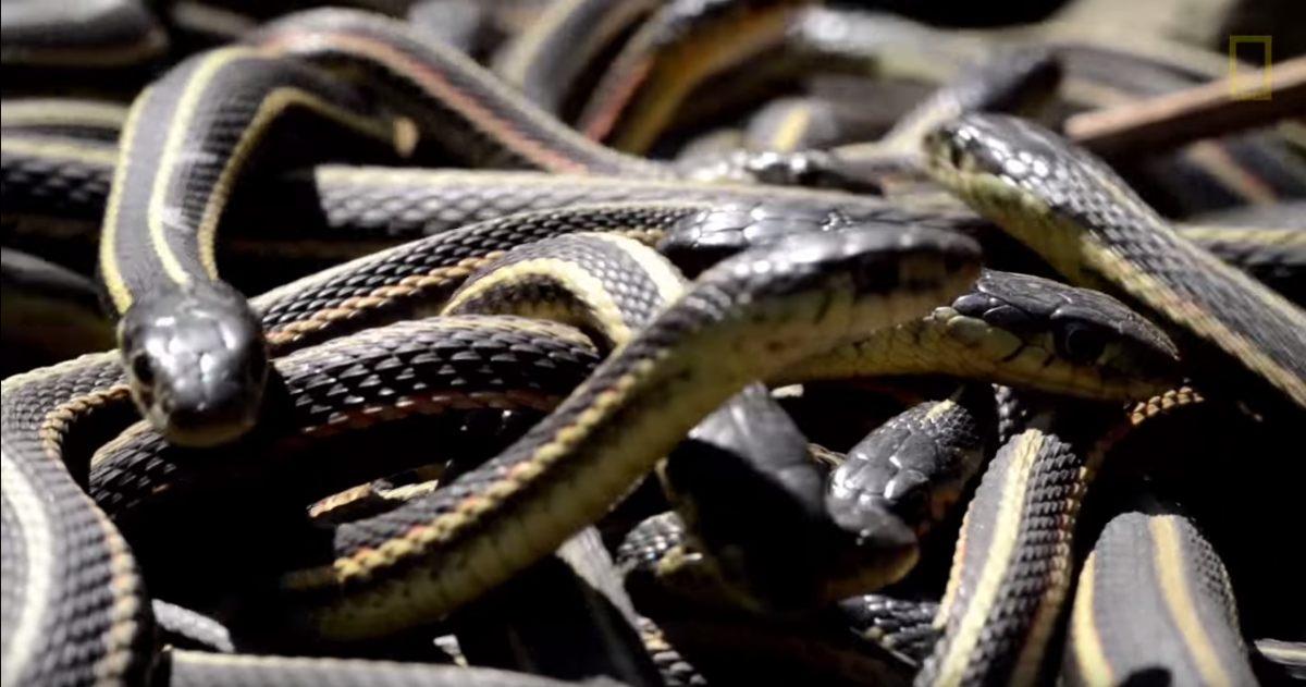 Kinh sợ 75.000 con rắn ken dày như thảm mùa giao phối - 7