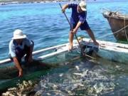 """Tin tức trong ngày - Cá chết ở đảo Phú Quý nghi do """"thủy triều đỏ"""""""