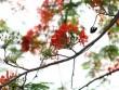 Ngẩn ngơ ngắm hoa phượng nở rực trời Hà Nội đầu hè