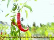 """Du lịch - Ngôi làng """"thích ăn ớt"""" ở xứ nóng Quảng Trị"""