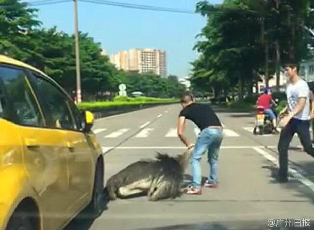 TQ: Đà điểu chạy trên đường, tài xế cáu tiết bóp cổ chết - 2