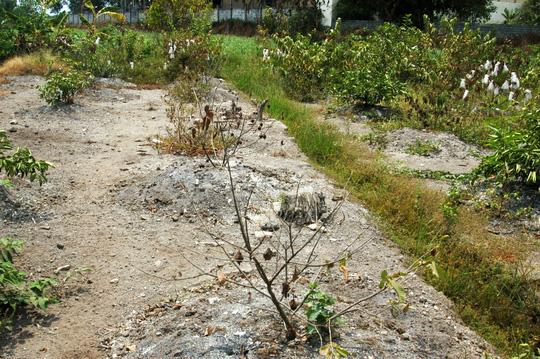 Bất lực nhìn cây trồng chết khô vì hạn - 1