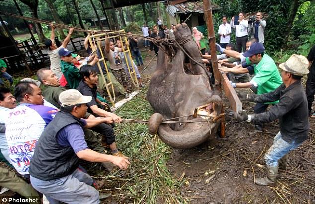 Indonesia: Voi khóc rồi chết, sở thú đóng cửa - 3