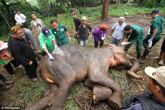 Indonesia: Voi khóc rồi chết, sở thú đóng cửa - 2