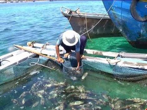 Cá nuôi ở đảo Phú Quý chết là do thiếu oxy - 1