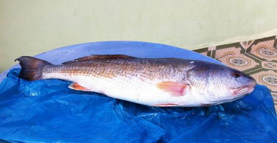 Ngư dân bắt được cá sủ vàng tiền tỉ giờ ra sao? - 1