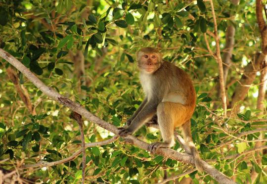 Bầy khỉ trăm con tràn xuống làng phá hoa màu - 1