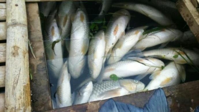 Cá nuôi trên sông Bưởi tiếp tục chết bất thường - 1