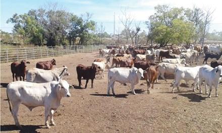 Hết thời ào ào nhập bò Úc về Việt Nam - 1