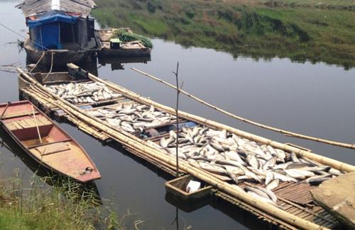 Vụ cá chết trên Sông Bưởi: Chờ sông tự sạch? - 1