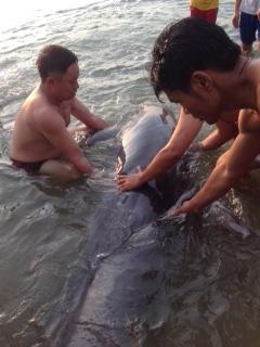 Giải cứu cá heo nặng gần 1 tạ bị thương dạt vào bờ biển - 1