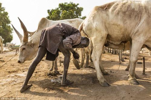 Cuộc sống của bộ tộc dùng nước tiểu của bò để tắm - 1