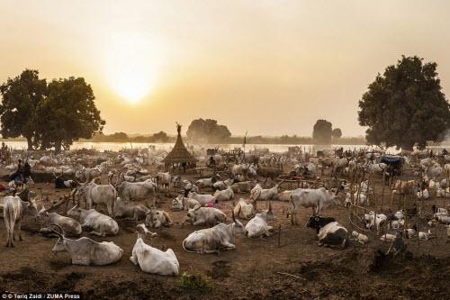 Cuộc sống của bộ tộc dùng nước tiểu của bò để tắm - 7