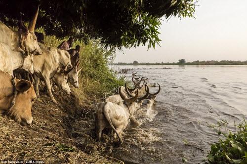 Cuộc sống của bộ tộc dùng nước tiểu của bò để tắm - 9