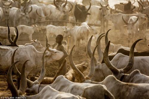 Cuộc sống của bộ tộc dùng nước tiểu của bò để tắm - 12