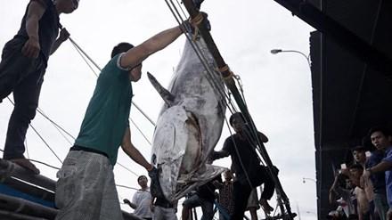 Cận cảnh cá ngừ vây xanh 'khủng' gần 350kg - 1