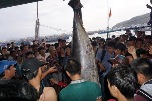 Cận cảnh cá ngừ vây xanh 'khủng' gần 350kg - 2