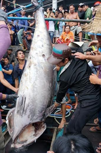 Cận cảnh cá ngừ vây xanh 'khủng' gần 350kg - 3
