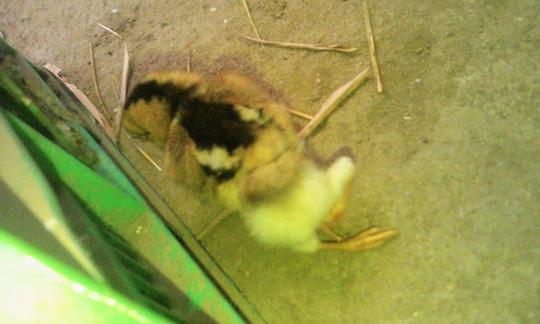 Kỳ lạ gà 4 chân ở Đà Nẵng - 3