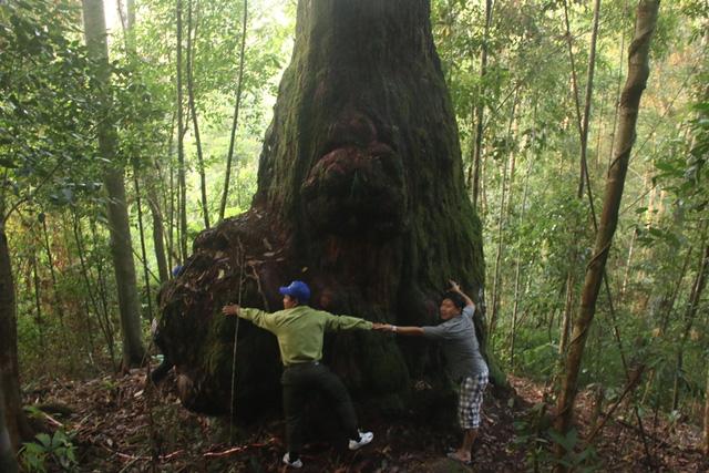 Lạc vào rừng Pơmu nghìn năm tuổi - 3