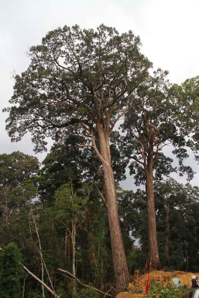 Lạc vào rừng Pơmu nghìn năm tuổi - 2