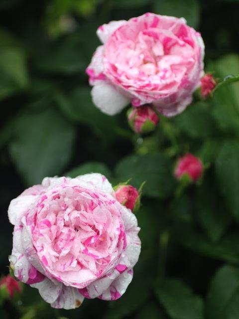 Lạc lối giữa vườn hồng cổ tích ở Nhật - 7