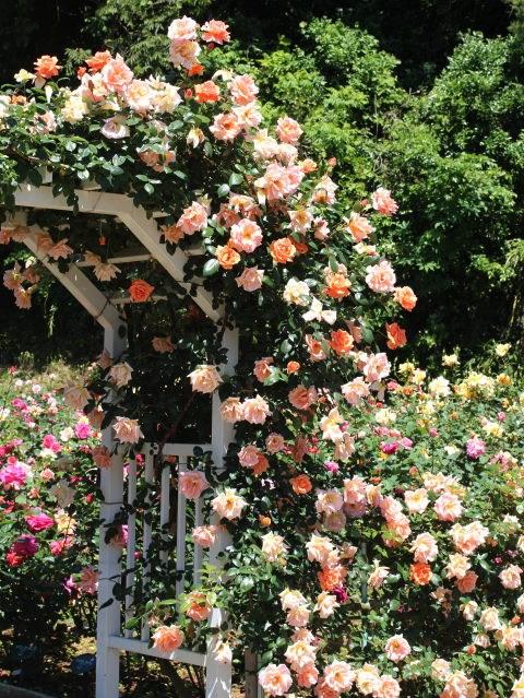 Lạc lối giữa vườn hồng cổ tích ở Nhật - 2