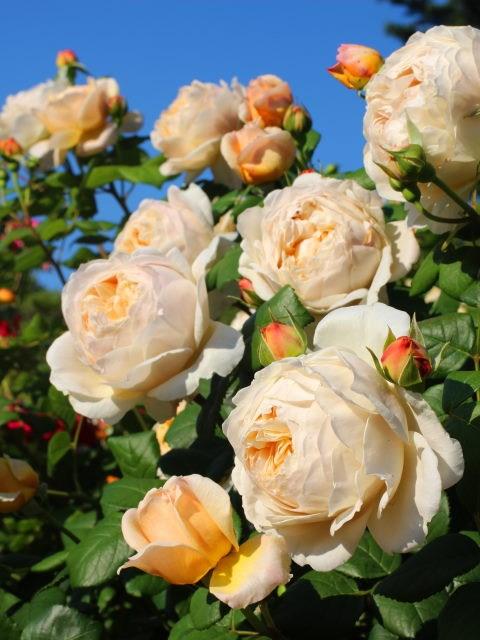 Lạc lối giữa vườn hồng cổ tích ở Nhật - 5