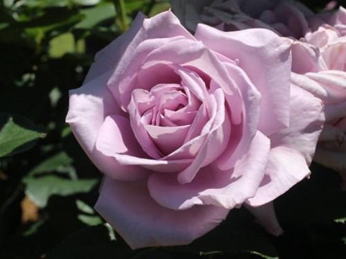 Lạc lối giữa vườn hồng cổ tích ở Nhật - 9