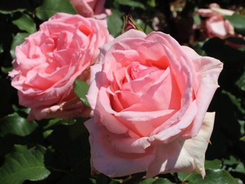 Lạc lối giữa vườn hồng cổ tích ở Nhật - 8