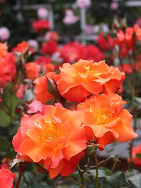 Lạc lối giữa vườn hồng cổ tích ở Nhật - 6