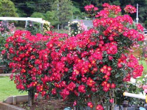 Lạc lối giữa vườn hồng cổ tích ở Nhật - 4