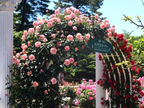 Lạc lối giữa vườn hồng cổ tích ở Nhật - 1