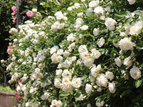 Lạc lối giữa vườn hồng cổ tích ở Nhật - 3