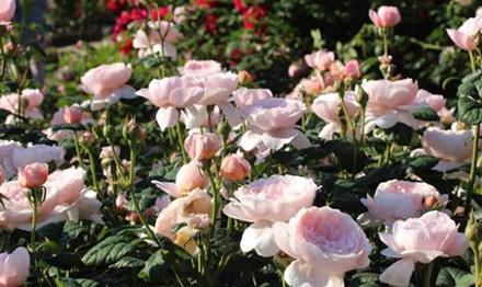Lạc lối giữa vườn hồng cổ tích ở Nhật - 10