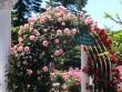 Lạc lối giữa vườn hồng cổ tích ở Nhật