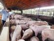 Nan giải quản lý chất cấm trong chăn nuôi