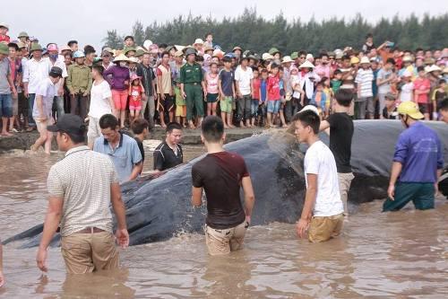 Lý giải nguyên nhân cá voi hơn 10 tấn mắc cạn ở Nghệ An - 1