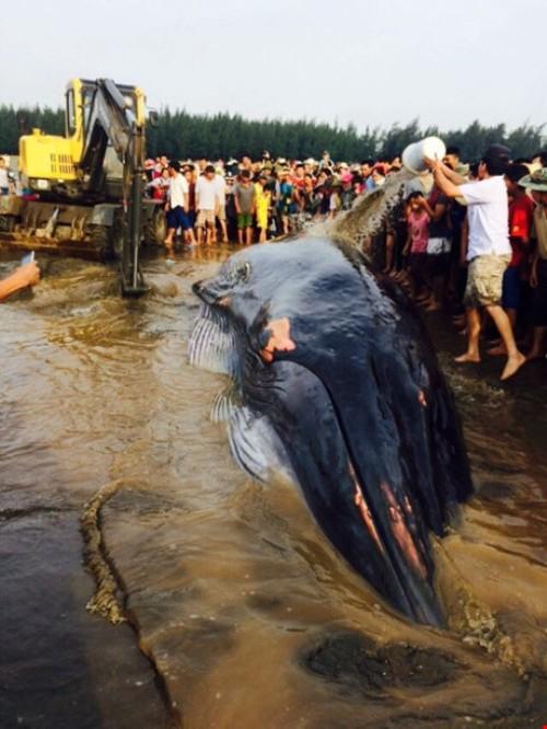Lý giải nguyên nhân cá voi hơn 10 tấn mắc cạn ở Nghệ An - 2