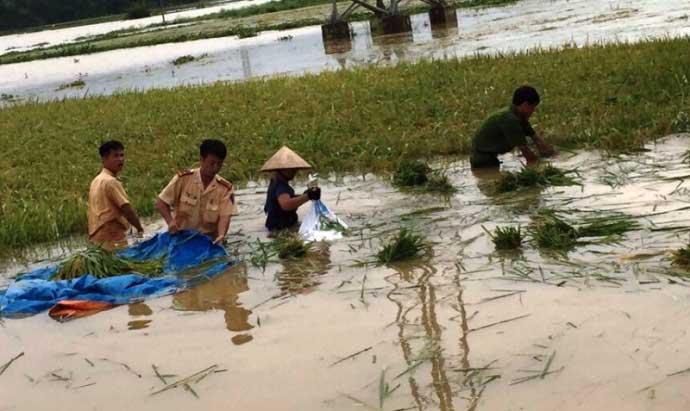 CSGT lội ruộng, ngâm mình cứu lúa trong nước lũ - 2