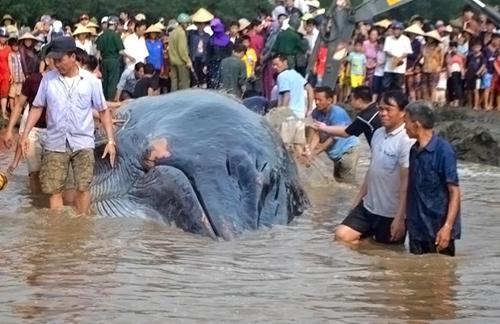 Cá voi 13 tấn được hàng nghìn người giải cứu đã chết - 1